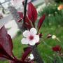 Prunus Sandcherry