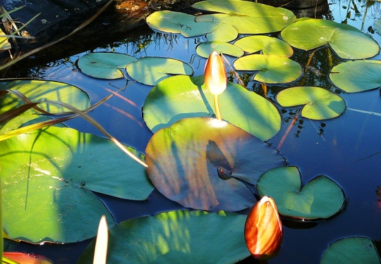 Sun on closed lilies (Nymphaea alba (Nenufar Blanco))