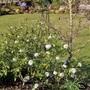 Viburnum carlesii - gorgeous perfume (Viburnum carlesii (Viburnum))