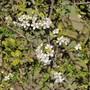 Cambridge Gage Blossom (Prunus domestica italica)