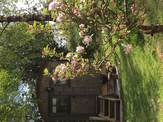 The small apple tree in front of our shepherd's hut at the end of the garden.