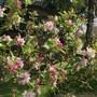 A close up of some apple blossom.