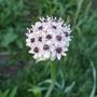 Allium_silver_spring_2020