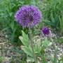 Allium_purple_sensation_2020