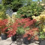 Acers (From the other direction)