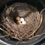 Greenhouse_robin_s_nest_25th_april_copy