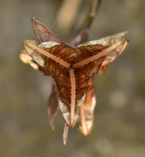 Gladiolus seed pod
