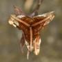Gladiolus_seed_pod