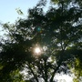 Robinia pseudoacacia (False acacia)