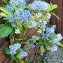 Ceanothus_trewithan_blue_.2