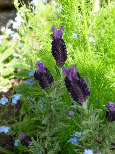 Lavender 'Devon Compact' (Lavandula)