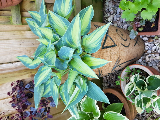 Hosta in pot...