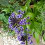 Scilla peruviana Cuban lily. (Scilla peruviana (Cuban Lily))