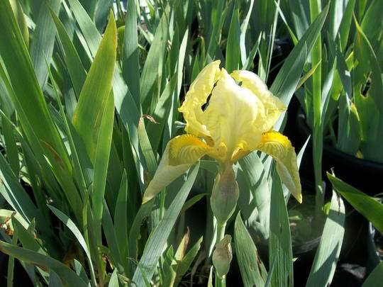 Dwarf Iris 'Pogo'