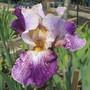 Bearded Iris 20A3 (Bearded Iris)