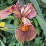 Iris 'Holden Clough' (Iris pseudocorus X)