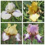Four Named Bearded Irises (Bearded Iris)