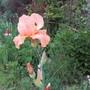 19H34B (Bearded Iris)