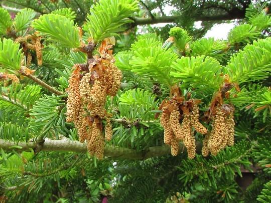 Abies Koreana (Abies koreana (Korean fir))