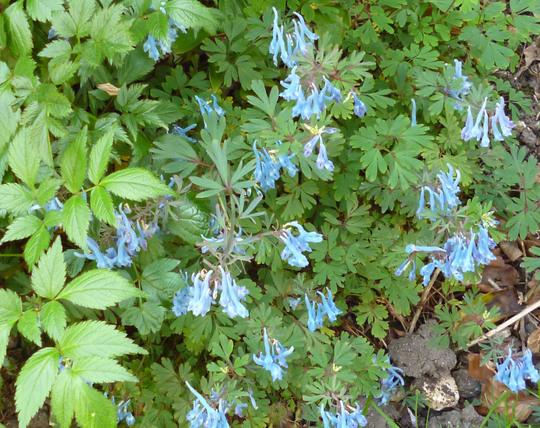 Corydalis flexuosa 'China Blue' (Corydalis 'China Blue')