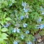 Corydalis_chine_blue