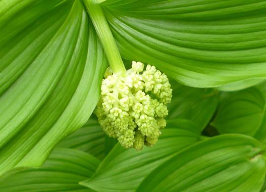 Maianthemum racemosa (Smilacina racemosa (False spikenard))