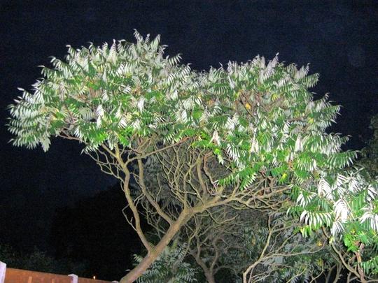 Tree of Heaven (Ailanthus altissima (Tree of heaven))