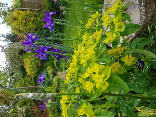 Blue Iris.....and Euphorbia...