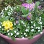 White violets and Pink Primulas