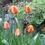 Stripey tulips