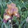 Bearded Iris 19H9 (Bearded Iris)
