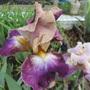 Bearded Iris 20A3b