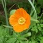 Welsh Poppy.