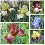 More of my Creations (Bearded Iris.)