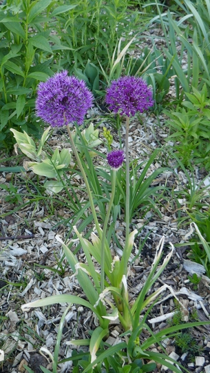 Allium 'Purple Sensation' - 2020 (Allium 'Purple Sensation')