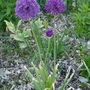 Allium 'Purple Sensation' - 2020 (Allium 'Purple Sensation')
