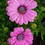 Osteospermum  (Coleostephus myconis (Chrysanthemum Goblin)spermum)