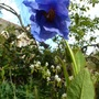 P1300346_hanging_flower_sheldonii_2