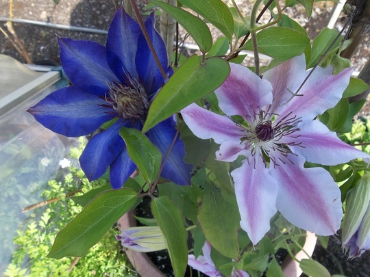 Clematis 'Nelly Moser' and 'Multi Blue'