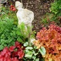 Heuchera Fire Alarm   Heuchera Peach Flambe plus Henry