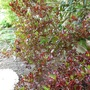 Coprosma 'Pacific Sunset' (Coprosma repens)