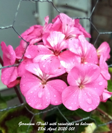 Geranium Pink with raindrops on balcony 28th April 2020 001 001 (Pelargonium zonal)