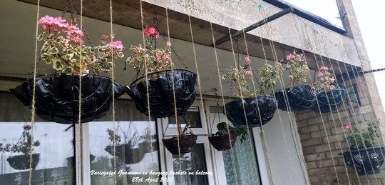 Variegated Geraniums in hanging baskets on balcony 28th April 2020