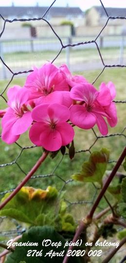 Geranium Deep pink on balcony 27th April 2020 002 (Pelargonium zonal)