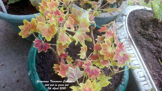 Geraniums 'Vancouver Centennial' just put in green pot 8th April 2020 (Pelargonium zonal)