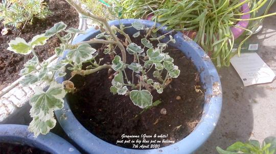 Geraniums (Green & white) just put in big blue pot on balcony 7th April 2020 (Pelargonium zonal)