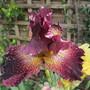 Raindrops keep falling..... (Bearded iris)