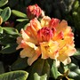 One of my favourite Rhododendrons 'Nancy Evans'