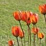 Tulip whitallii - a great naturalising tulip (tulip whitallii)