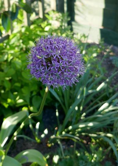 Allium 'Mars' - 2020 (Allium)